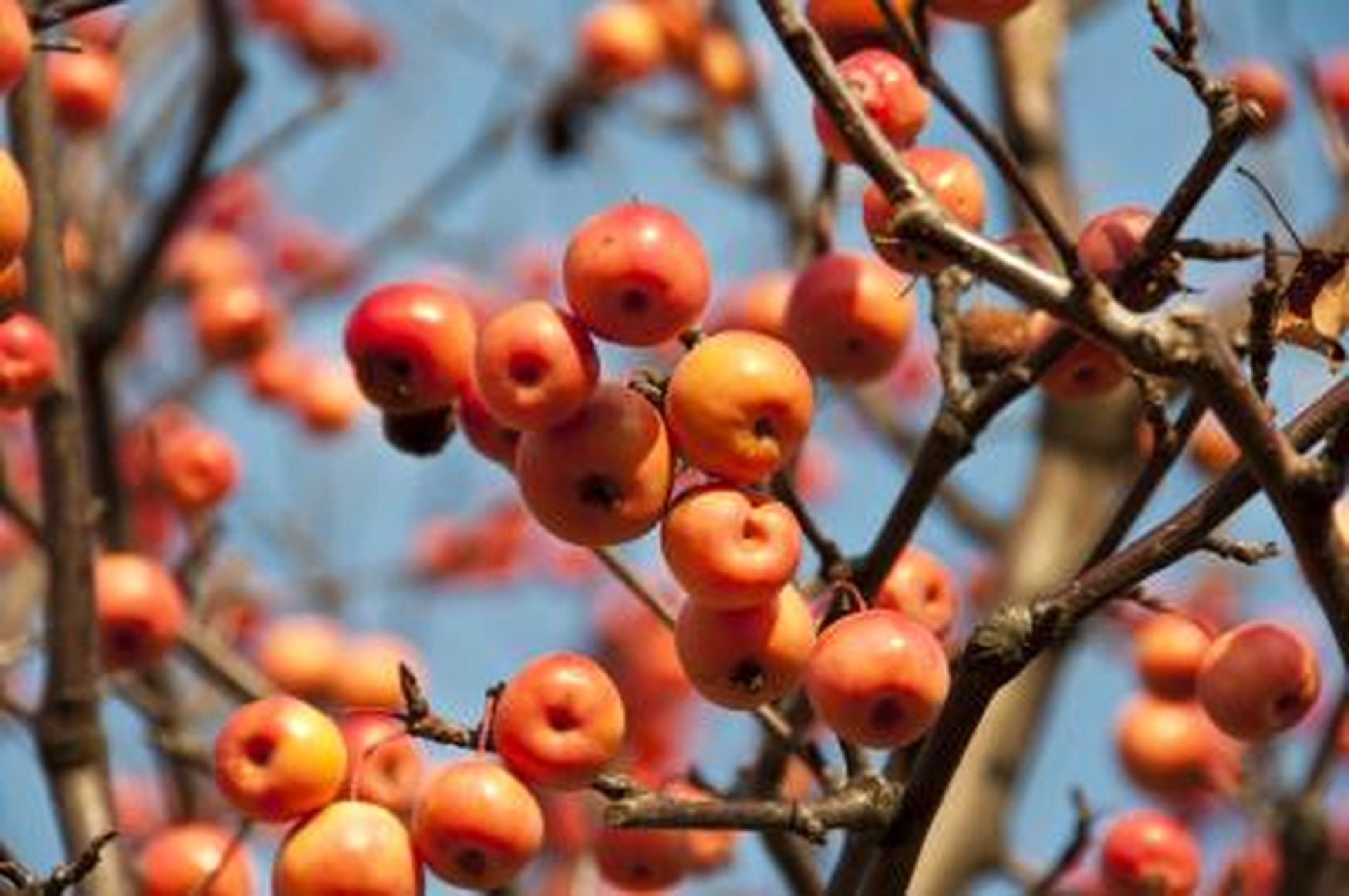 Is Crab Apple Tree Fruit Dangerous Livestrong