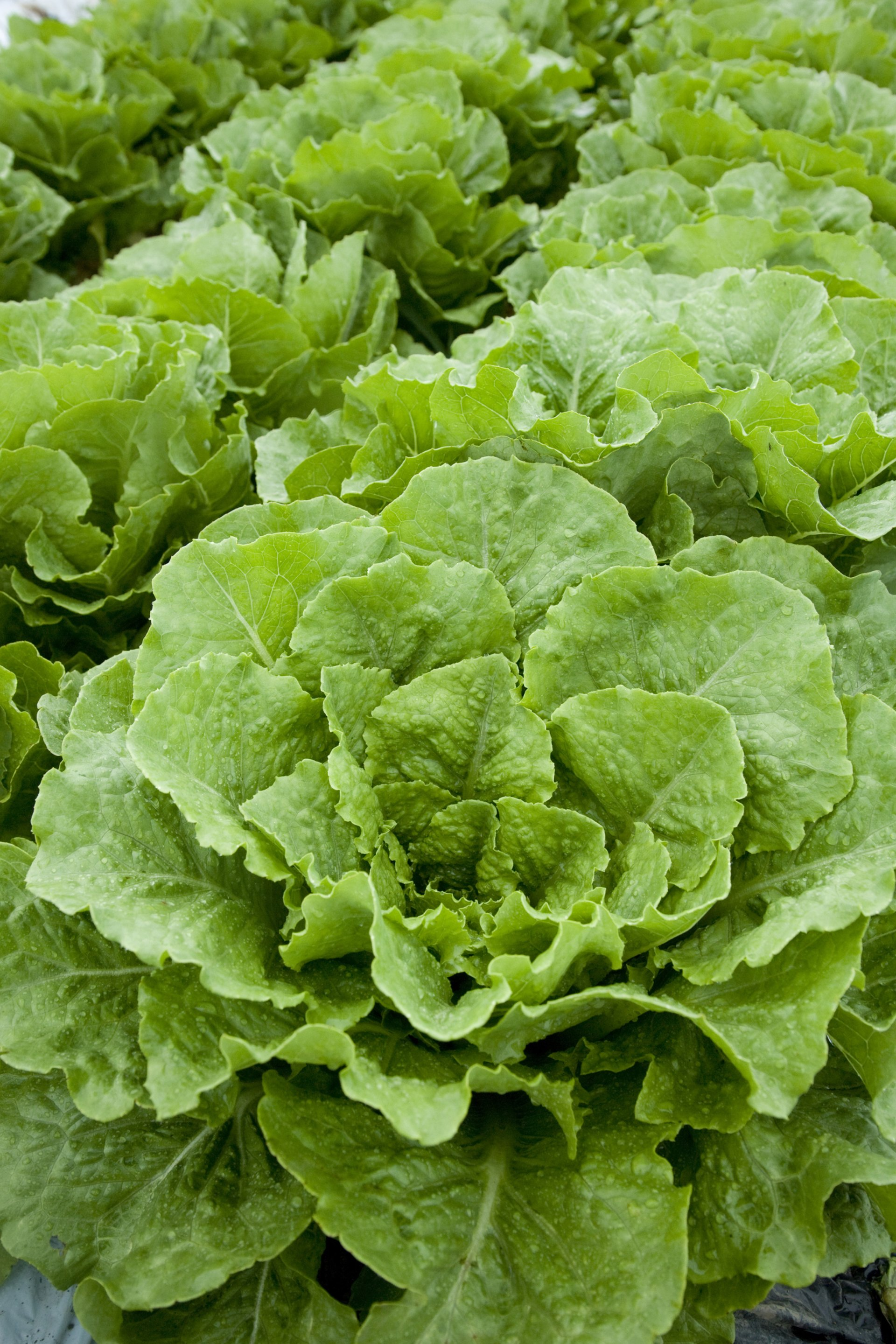 Is There Anything That Helps Digest Lettuce Livestrong