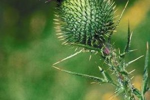 Uses Of Dandelion Leaf Tea For Curing Hepatitis