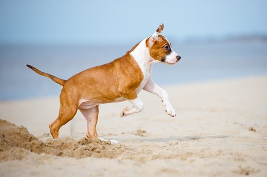13. American Staffordshire Terrier