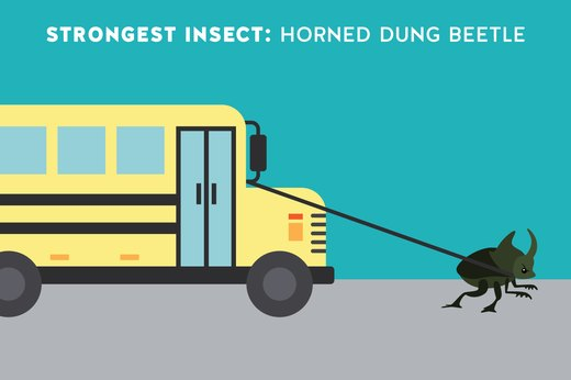 1. Strongest Insect: Horned Dung Beetles