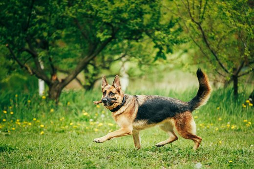 1. German Shepherd