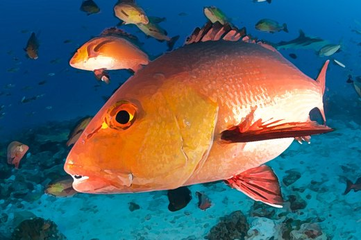 10. Red Snapper (Wild, U.S. South Atlantic)