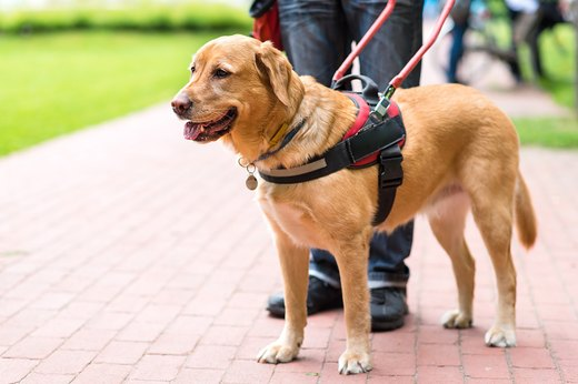 Colorado Service Dog In Training Laws