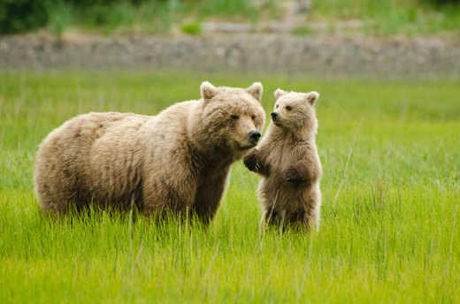 4. Brown Bears